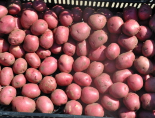New Red Potatoes!!