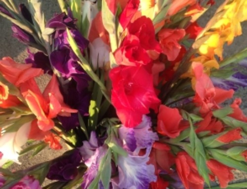 Bunches of Gladiolus