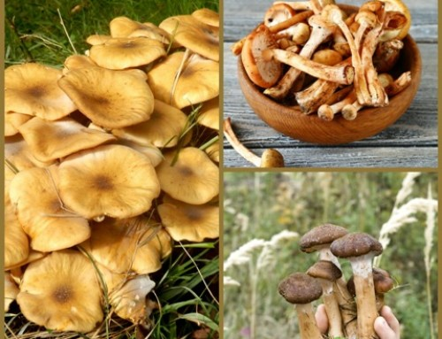 Honey Mushrooms!
