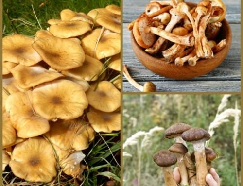 Honey Mushrooms!